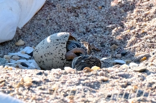Piping Plover Chick Hatching copyright Kim Smith - 05