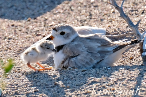 Piping Plover Chick Hatching copyright Kim Smith - 10