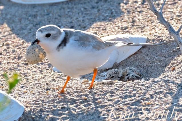 Piping Plover Chick Hatching copyright Kim Smith - 18