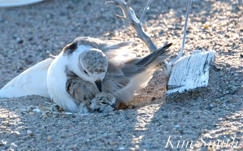 Piping Plover Chick Hatching copyright Kim Smith - 24