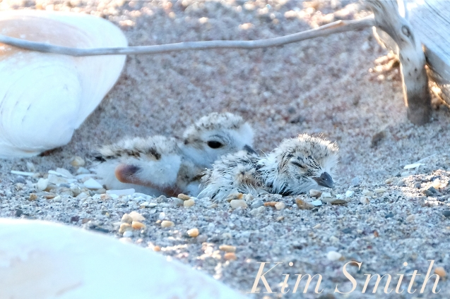 Piping Plover Chick Hatching copyright Kim Smith - 29