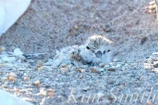 Piping Plover Chick Hatching copyright Kim Smith - 30