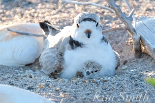 Piping Plover Chick Hatching copyright Kim Smith - 31