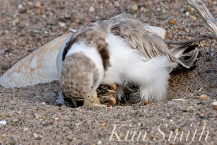 Piping Plover Chicks Hatching copyright Kim Smith - 08