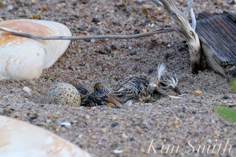 Piping Plover Chicks Hatching copyright Kim Smith - 14