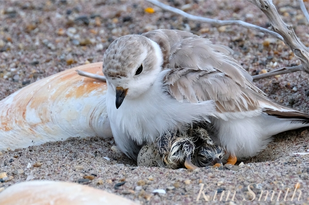 Piping Plover Chicks Hatching copyright Kim Smith - 16
