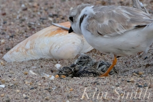 Piping Plover Chicks Hatching copyright Kim Smith - 17