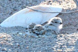 Piping Plover Chicks Newborn copyright Kim Smith
