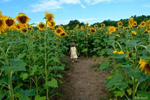 School Street Sunflower Field Ipswich Massachusetts copyright Kim Smith - 01