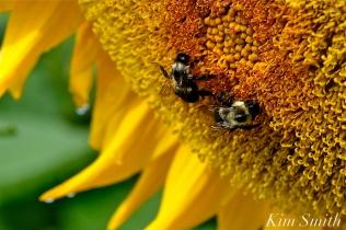 School Street Sunflower Field Ipswich Massachusetts copyright Kim Smith - 02