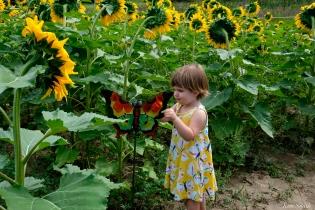 School Street Sunflower Field Ipswich Massachusetts copyright Kim Smith - 09