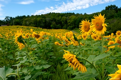 School Street Sunflower Field Ipswich Massachusetts copyright Kim Smith - 10