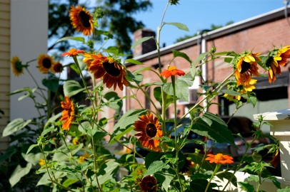 Urban Pollinator Garden Mary Prentiss Inn Cambridge copyright Kim Smith - 69