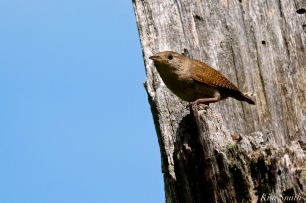 Winter Wren Gloucester Massachusetts -1 copyright Kim Smith