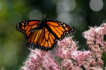 Monarch Butterflies Joe-pye copyright Kim Smith - 17