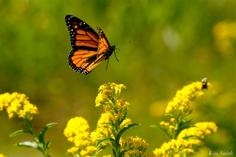 Monarch Butterflies Seaside Goldenrod copyright Kim Smith - 06