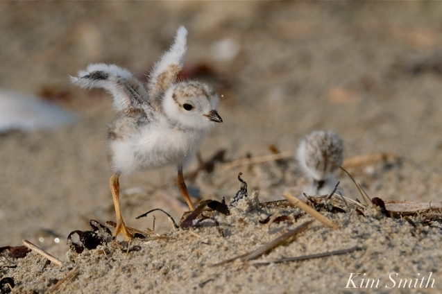 Piping Plover Chicks Wing Buds coyright Kim Smith