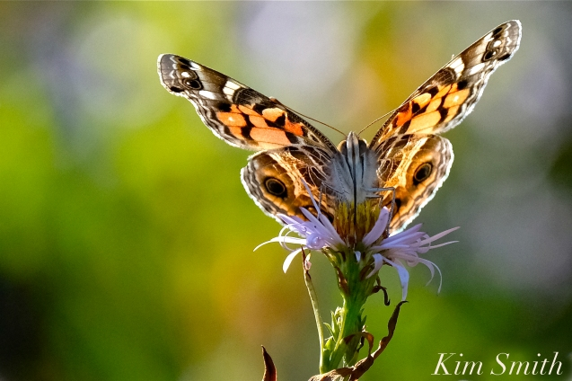 American Lady Butterfly Late Blooming Aster copyright Kim Smith .jpg