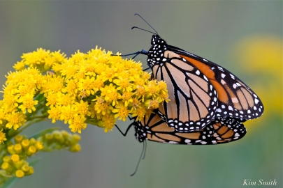 Monarch Butterflies Mating September Seaside Goldenrod copyright Kim Smith - 4