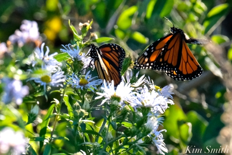 Monarch Butterfly Late Blooming Aster copyright Kim Smith .jpg