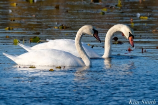 Mute Swans Cygnus olor Gloucester MA copyright Kim Smith - 01