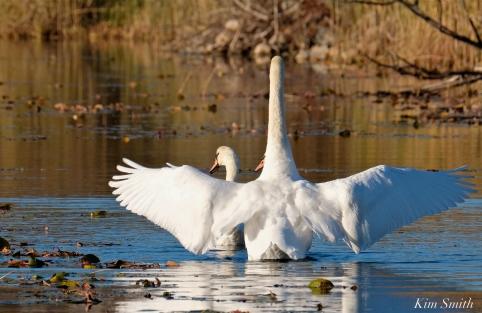 Mute Swans Cygnus olor Gloucester MA copyright Kim Smith - 09