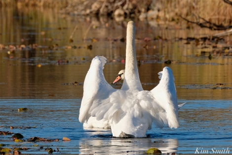 Mute Swans Cygnus olor Gloucester MA copyright Kim Smith - 10