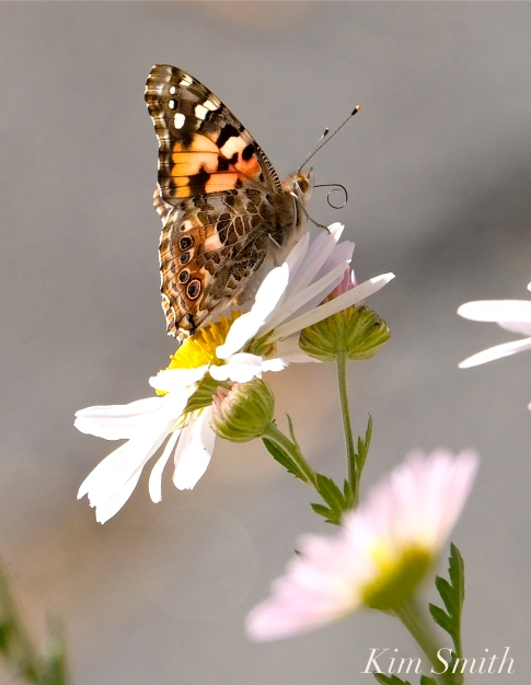 Painted Lady Butterfly Korean Daisy copyright Kim Smith
