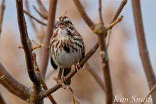 Song Sparrow Gloucester MA -3 copyright Kim Smith