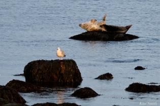 Harbor Seals Brace Cove Gloucester MA copyright Kim Smith - 3