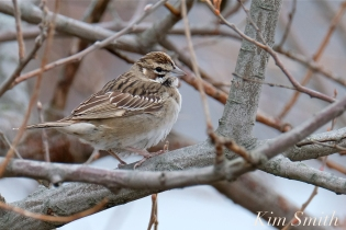 Lark Sparrow Gloucester MA -1 copyright Kim Smith