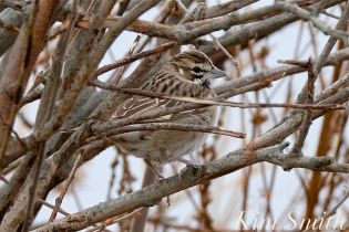 Lark Sparrow Gloucester MA -2 copyright Kim Smith