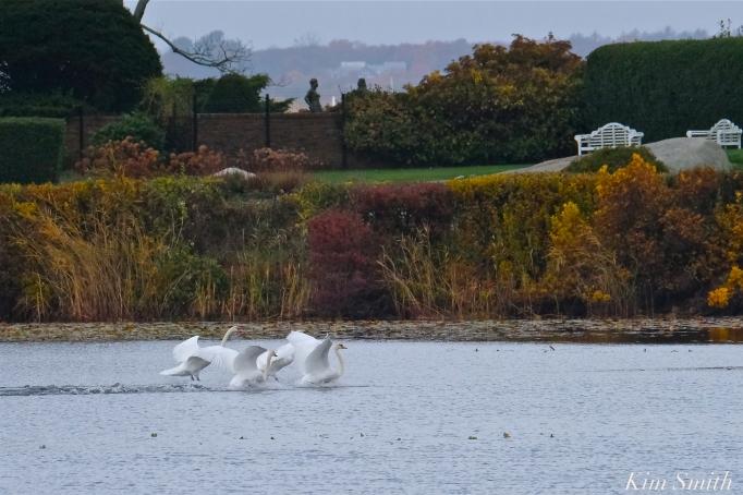 Mute Swans Cygnus olor Gloucester MA copyright Kim Smith - 20