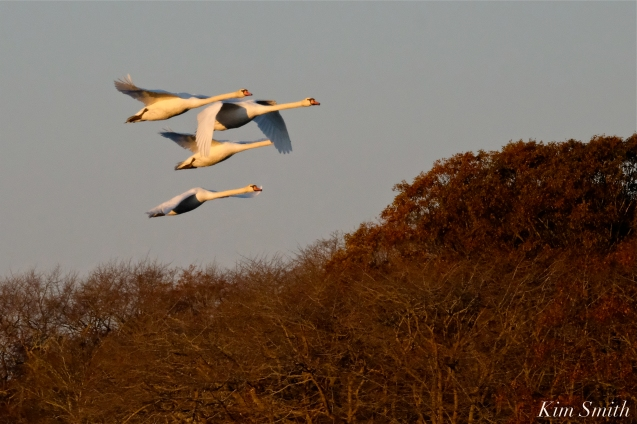 Mute Swans Cygnus olor Gloucester MA copyright Kim Smith - 32
