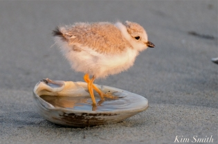 Piping plover chick double brood 16 days old