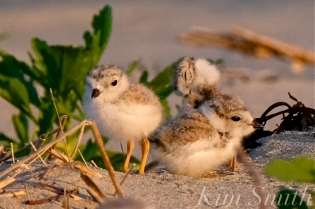 Piping Plovers Fifteen Days Old GHB copyright Kim Smith