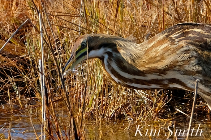 American Bittern Massachusetts copyright Kim Smith - 06