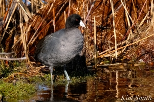 American Coot Gloucester Massachusetts copyright Kim Smith - 03