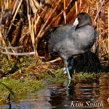 American Coot Gloucester Massachusetts copyright Kim Smith - 10
