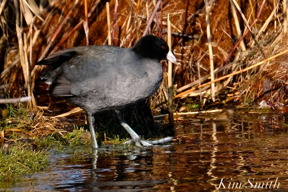 American Coot Gloucester Massachusetts copyright Kim Smith - 11