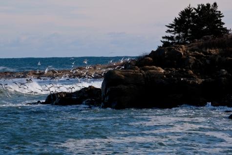 Gulls Brace Cove copyright Kim Smith - 22