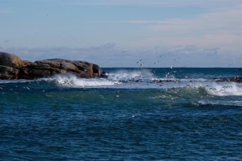 Gulls Niles Pond Brace Cove copyright Kim Smith - 23