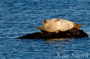 Harbor Seals Brace Cove copyright Kim Smith - 03