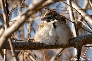 Lark Sparrow Massachusetts Gloucester copyright Kim Smith - 02