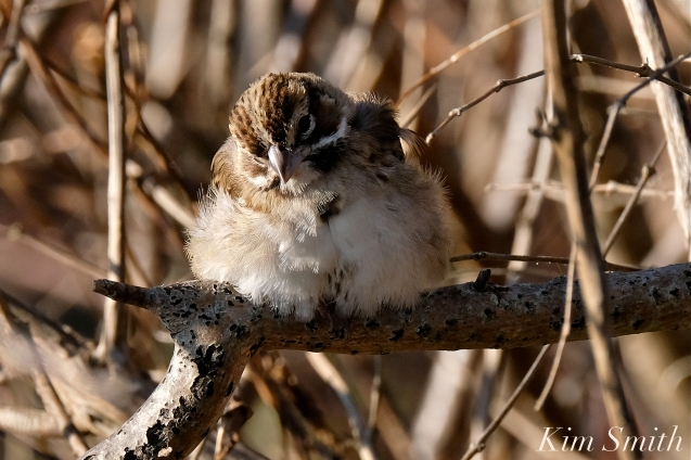 Lark Sparrow Massachusetts Gloucester copyright Kim Smith - 05