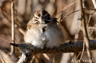 Lark Sparrow Massachusetts Gloucester copyright Kim Smith - 06