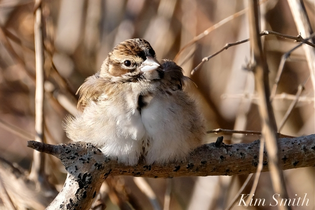Lark Sparrow Massachusetts Gloucester copyright Kim Smith - 08