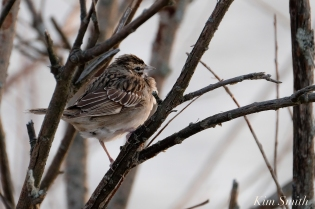 Lark Sparrow Niles Pond Brace Cove copyright Kim Smith - 06