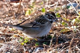 Lark Sparrow Niles Pond Brace Cove copyright Kim Smith - 11