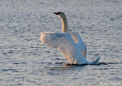Mute Swan Niles Pond copyright Kim Smith - 15jpg